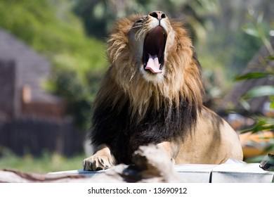 African wild life lion yawning