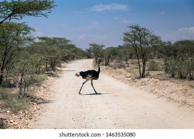 African wild ostrich in the middle of the road infront of safari vehicle during safari trip in Samburu/Kenya/Africa. Trip and animal concept.