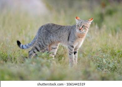African wildcat, Felis lybica, also called Near Eastern Wild Cat. Wild animal in nature habitat, grass meadow, Nxai Pan National Park, Botswana, Africa.