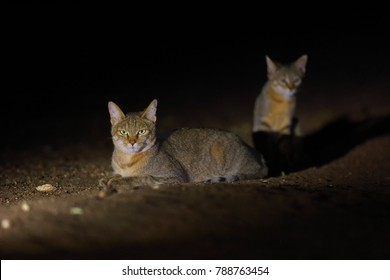 The African wildcat (Felis lybica), also called Near Eastern wildcat. Female with kitten at night.
