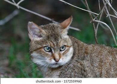 African wildcat (felis lybica) in a foul mood