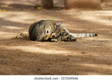 African wildcat (felis lybica) grooming