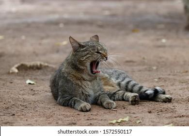 African wildcat (felis lybica),lying on the ground yawning