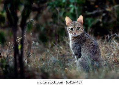 African Wildcat (Felis silvestris lybica), Masai Mara, Kenya