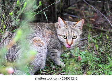 African Wildcat (Felis silvestris lybica) sitting on the ground in South Africa.