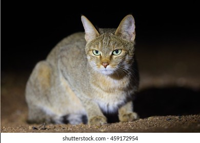 The African wildcat (Felis silvestris lybica) sitting in the road dust