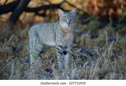 African Wildcat ( Felis silvestris lybica ) Kgalagadi Transfrontier Park, South Africa