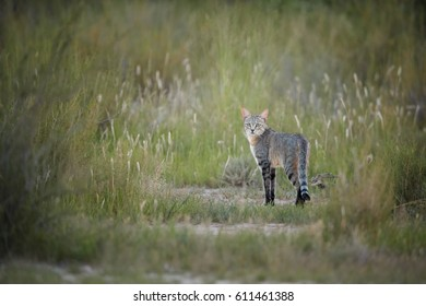 African Wildcat, Felis silvestris lybica, in its typical environment, hidden in long grass, staring directly at camera. Wildlife photography,  Kalahari desert in rainy season,  South Africa.