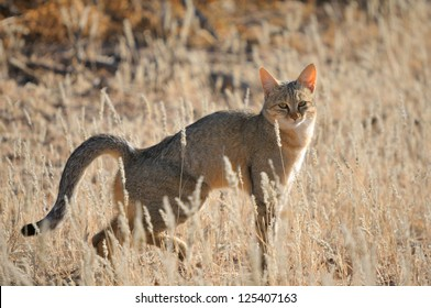 African wildcat in the Kgalagadi Transfrontier Park