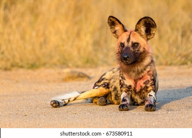 African Wild-dogs Kruger National Park South Africa. Ear.ly morning sun.