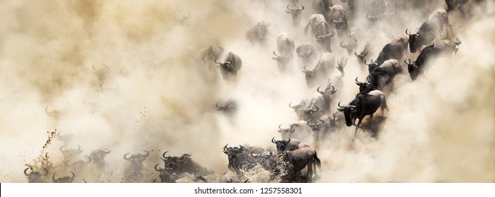 African wildebeest great migration crossing over the Mara River in dusty dramatic scene