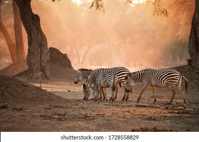African wildlife. Herd of zebras against backlighted ancient Zambezi forest. Wild animals in Mana Pools national park, Zimbabwe. Wildlife photography in unesco heritage site.