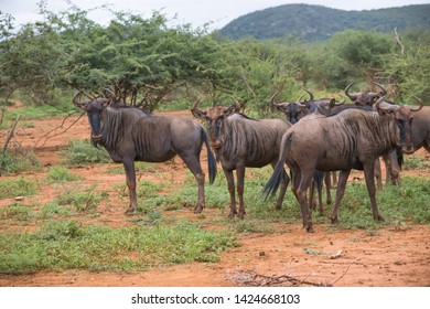 African wildlife small herd or group of Blue Wildebeest (Connochaetes taurinus) antelope or gnu standing in the wild and looking at the camera making eye contact at Madikwe game reserve South Africa