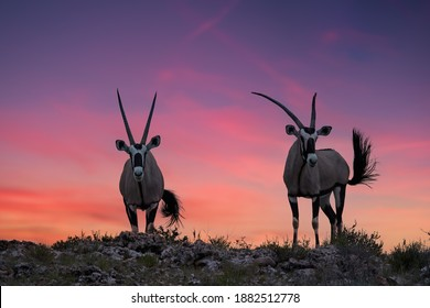 African wildlife. Two large antelopes with spectacular horns, Gemsbok, Oryx gazella, standing on the ridge of the valley against dramatic, red sunset, wildlife photo in Kalahari desert, South Africa