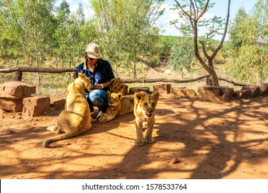 African woman crouching on the ground and playing with 4 month old lion cubs (Panthera leo), Colin's Horseback Africa Lodge, Cullinan, South Africa