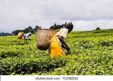 African women with woven wicker baskets on their backs, hand picking or harvesting tea leaves on a plantation in the Nandi Hills, highlands of Western Kenya.