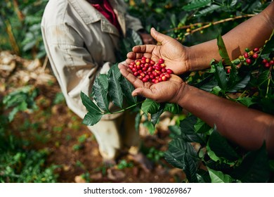 African worker is gathering coffee beans on plantation in bushy wood
