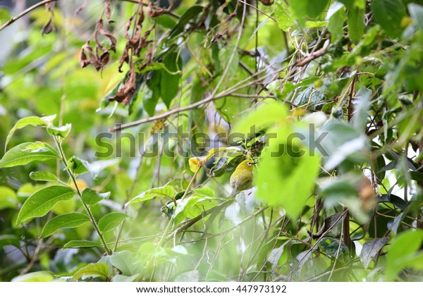 African yellow white-eye (Zosterops senegalensis) in Nyungwe National Park, Rwanda