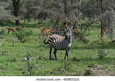 African Zebra Kenya in their natural habitat. Nakuru Park.