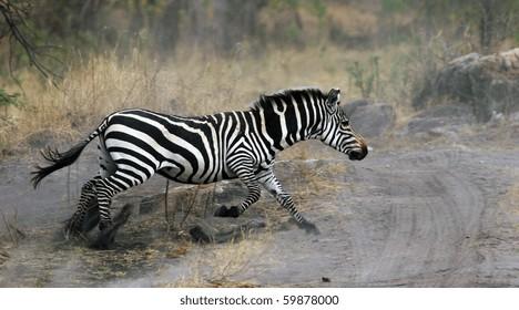 african zebra in the serengeti national park