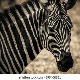 African zebra in Serengeti National Park