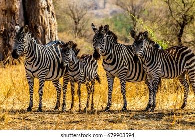 African Zebra in Serengeti, Tanzania