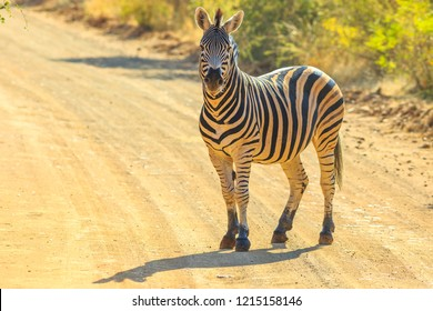 African Zebra standing on the gravel road. Game drive safari in Marakele National Park, part of the Waterberg Biosphere in Limpopo Province, South Africa near Johannesburg and Pretoria.