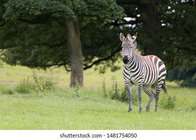 African zebra standing in the shade of a tree