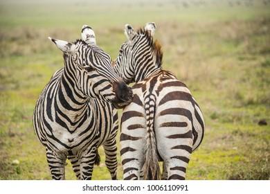 African zebras. Zebras biting each other. Zebras at Serengeti National Park, Tanzania
