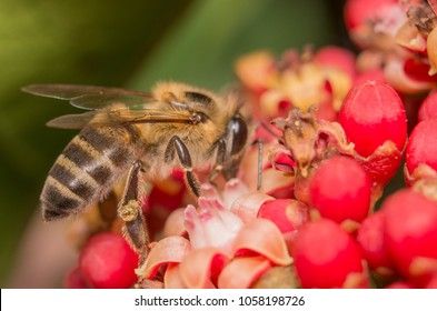 africanized bee on flower