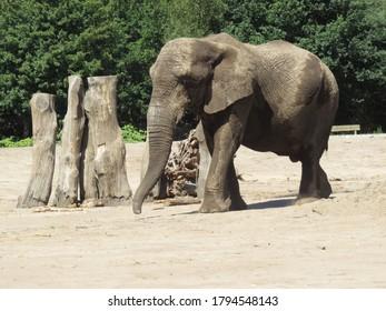 An Afrikan Elephant in Beekse Bergen