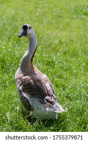 An Afrikan goose on a grassfield backgrond, photo made on 13 June 2020 in Weert the Netherlands