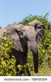 Afrikanischer Elefant im Chobe Nationalpark, Botsuana, african bush elephant in Chobe National Park, Botswana