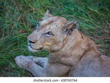 Afrion lion in the savannah at the Hlane Royal National Park, Swaziland