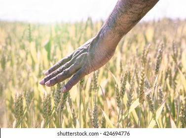 Afro american man hand caress cone in summer day with back lighting - Black guy walking through field of wheat grass - Freedom and landscape concept - Desaturated  filter - Soft vintage editing