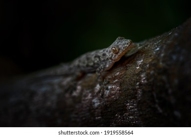 Afro-american House Gecko - Hemidactylus mabouia, beautiful common lizard from African houses, woodlands and gardens, Zanzibar, Tanzania.