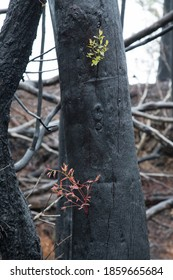 After the bushfire in Australia. Regrowth fire site.