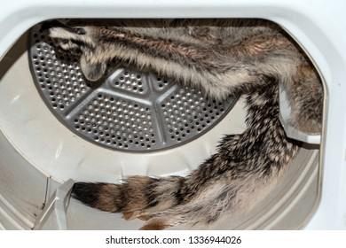 After the harvest, the mountain man trapper uses a modern day clothes dryer to dry and fluff the fur.