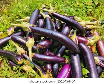 after harvesting eggplants, which are collected in a field