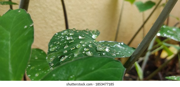 after heavy rain water droplets collected on leaves in home garden