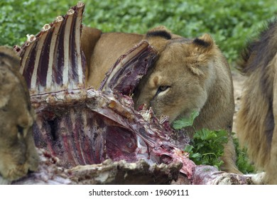 After the hunt - lions eating in their habitat