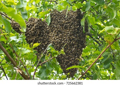 After leaving hive bees gather on branch of tree.