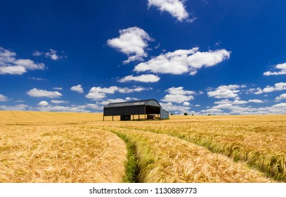 After a long hot dry spring the wheat in a Dorset field ripens to a golden brown contrasted against the black Dutch barn and deep ble skies