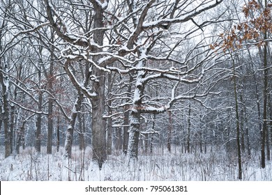 After an overnight snowstorm a midwest oak forest sits covered with fresh snow.