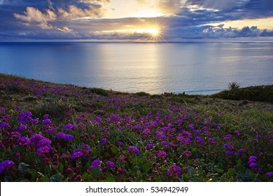 After a storm, a beautiful sunset at Torrey Pines State Natural Reserve in San Diego, California. The foreground flower is sand verbena, a spring flower unique to the coastal sand strips.