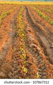 after sweet potato plants  harvest