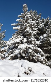 After a winter blizzard, an evergreen tree's boughs are covered with snow