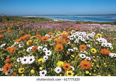 After the winter rains the fields are covered in carpets of colorful flowers along the western coast of South africa