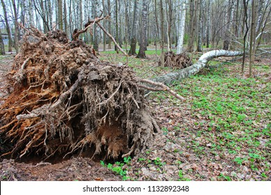 Aftermath storm, hurricane: fallen, uprooted trees. Birch cracked broke fell to the ground. Roots of the old tree are torn out and stick out above the ground. Strong wind destroys park vegetation