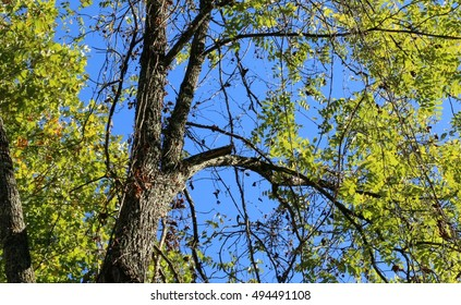 Afternoon Sun Beaming On Large Black Walnut Tree With Hanging Vines Against A Deep Blue Sky In The Mountains Of South West Virginia